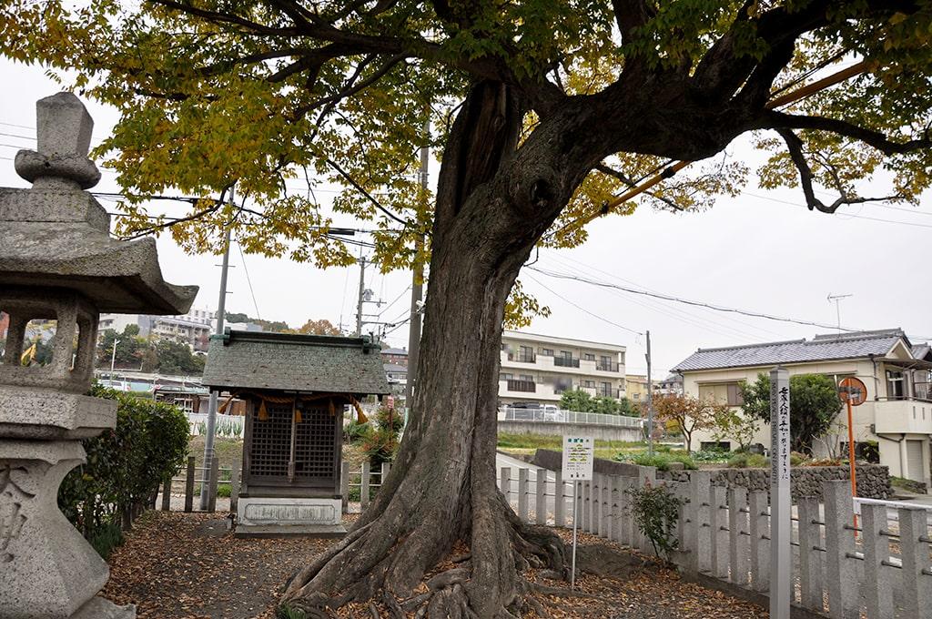 楠木神社/ムクノキ