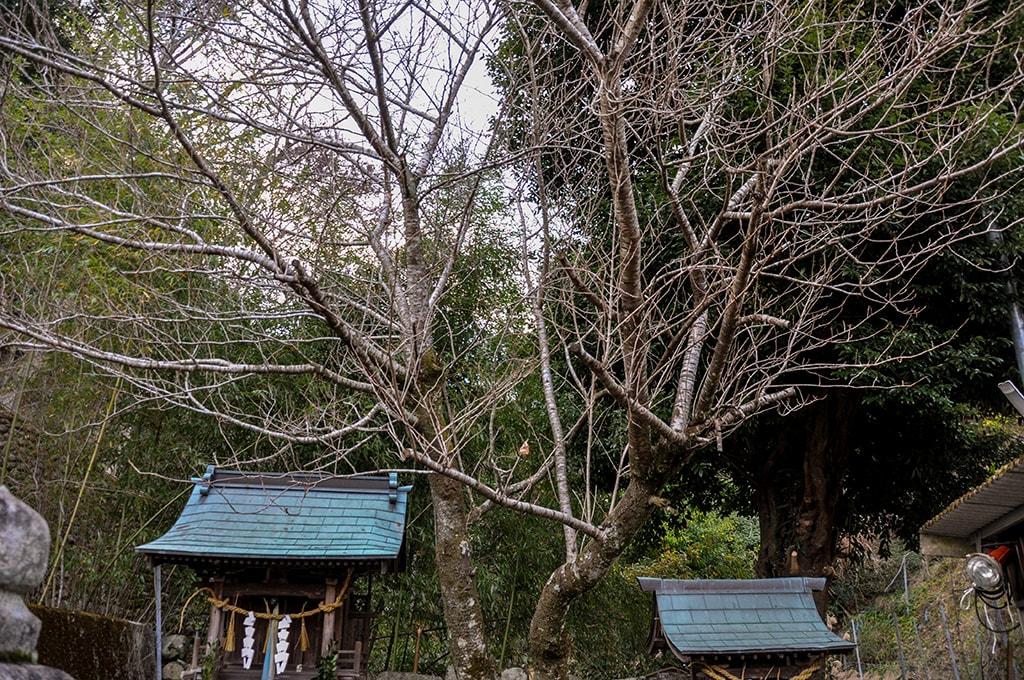 八幡神社/桜の木
