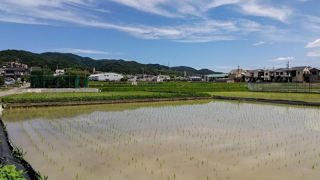 箕面市田んぼ風景