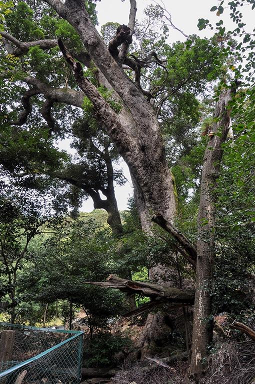 ヤマモモ/大宮寺の森