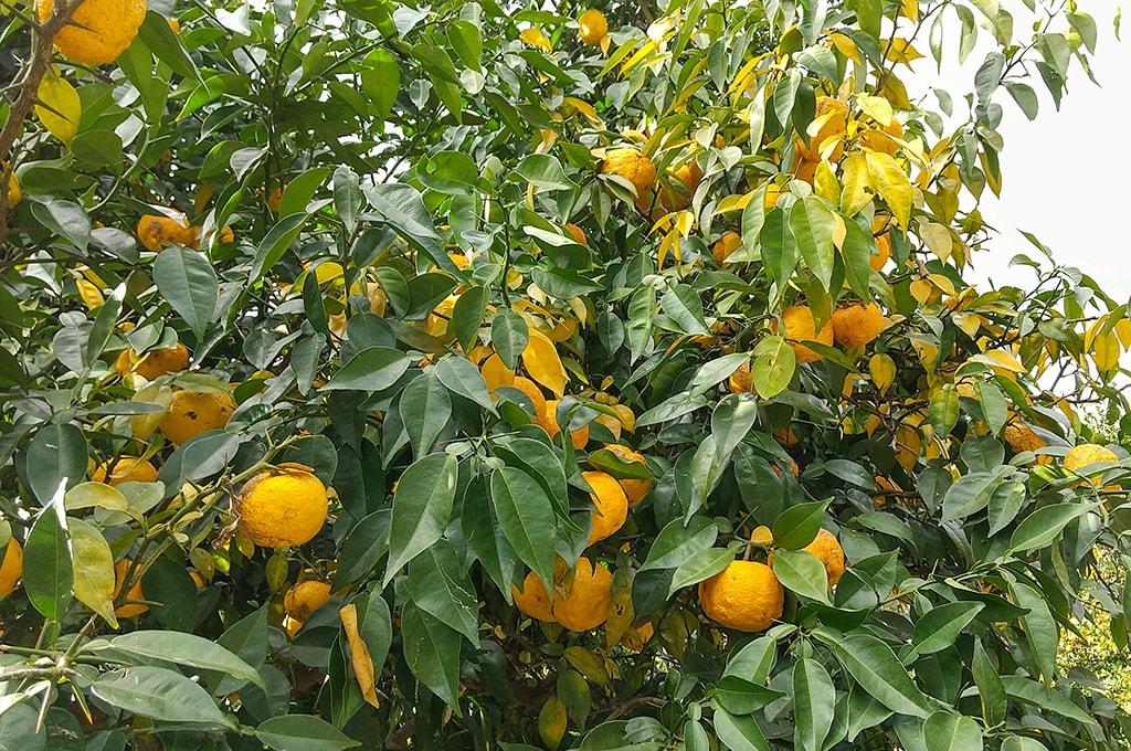 止々呂美の柚子