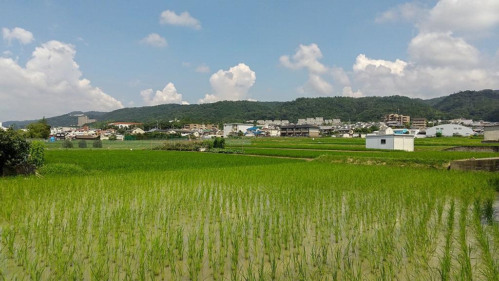 7月14日箕面田んぼ風景